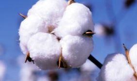 新疆棉花得天独厚产业快速发展